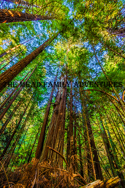 """Forest Towers,"" Redwood State and National Parks, California"